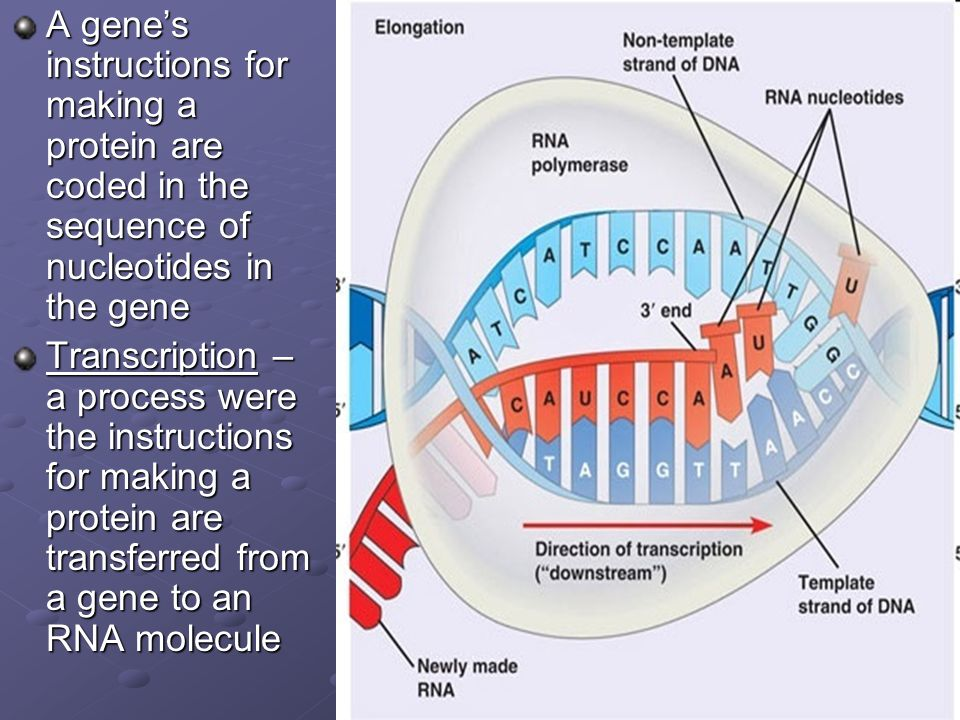 A gene's instructions for making a protein are coded in the sequence of nucleotides in the gene Transcription – a process were the instructions for ma