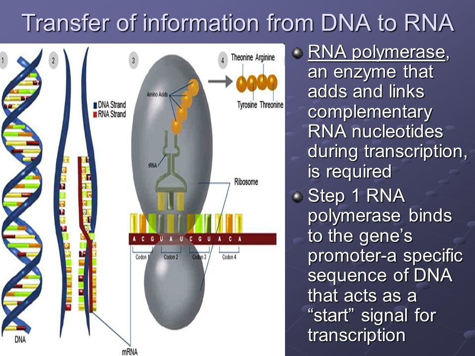 Transfer of information from DNA to RNA RNA polymerase, an enzyme that adds and links complementary RNA nucleotides during transcription, is required