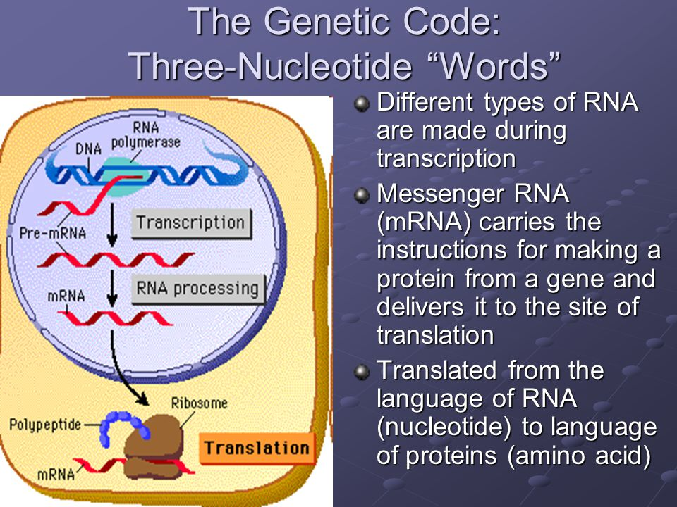"The Genetic Code: Three-Nucleotide ""Words"" Different types of RNA are made during transcription Messenger RNA (mRNA) carries the instructions for maki"