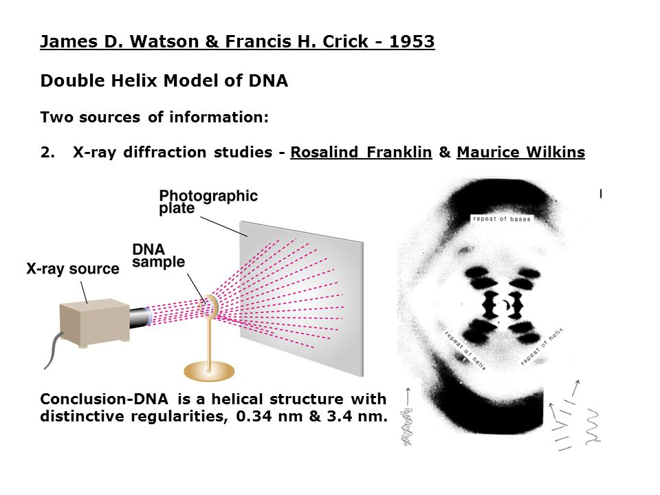 James D. Watson & Francis H. Crick - 1953 Double Helix Model of DNA Two sources of information: 2.X-ray diffraction studies - Rosalind Franklin & Maur