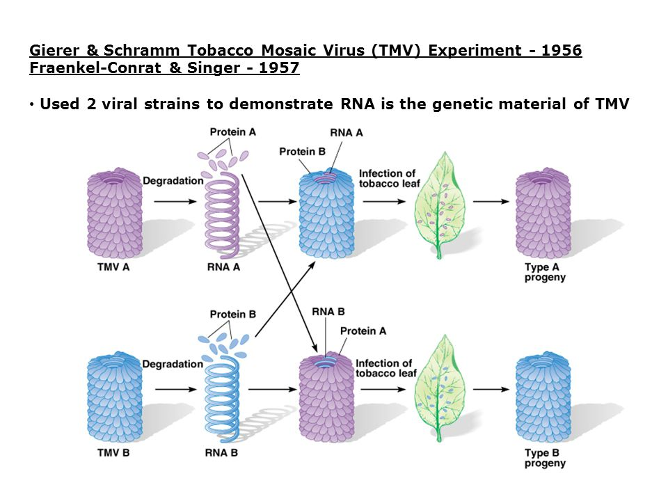 Organization of DNA/RNA in chromosomes Genome = chromosome or set of chromosomes that contains all the DNA an organism (or organelle) possesses Viral chromosomes1.