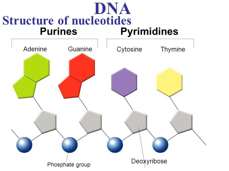 DNA Structure of nucleotides PurinesPyrimidines Adenine Guanine CytosineThymine Phosphate group Deoxyribose