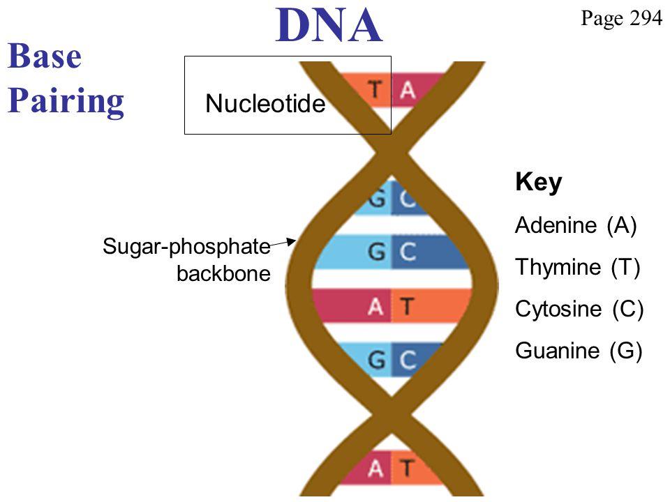DNA Base Pairing Sugar-phosphate backbone Key Adenine (A) Thymine (T) Cytosine (C) Guanine (G) Page 294 Nucleotide