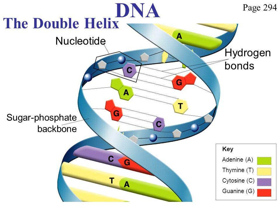 DNA The Double Helix Hydrogen bonds Nucleotide Sugar-phosphate backbone Key Adenine (A) Thymine (T) Cytosine (C) Guanine (G) Page 294