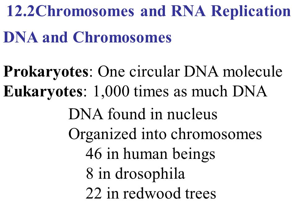 12.2Chromosomes and RNA Replication Prokaryotes: One circular DNA molecule Eukaryotes: 1,000 times as much DNA DNA and Chromosomes DNA found in nucleu