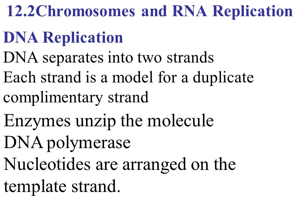 12.2Chromosomes and RNA Replication Enzymes unzip the molecule DNA polymerase Nucleotides are arranged on the template strand. DNA Replication DNA sep