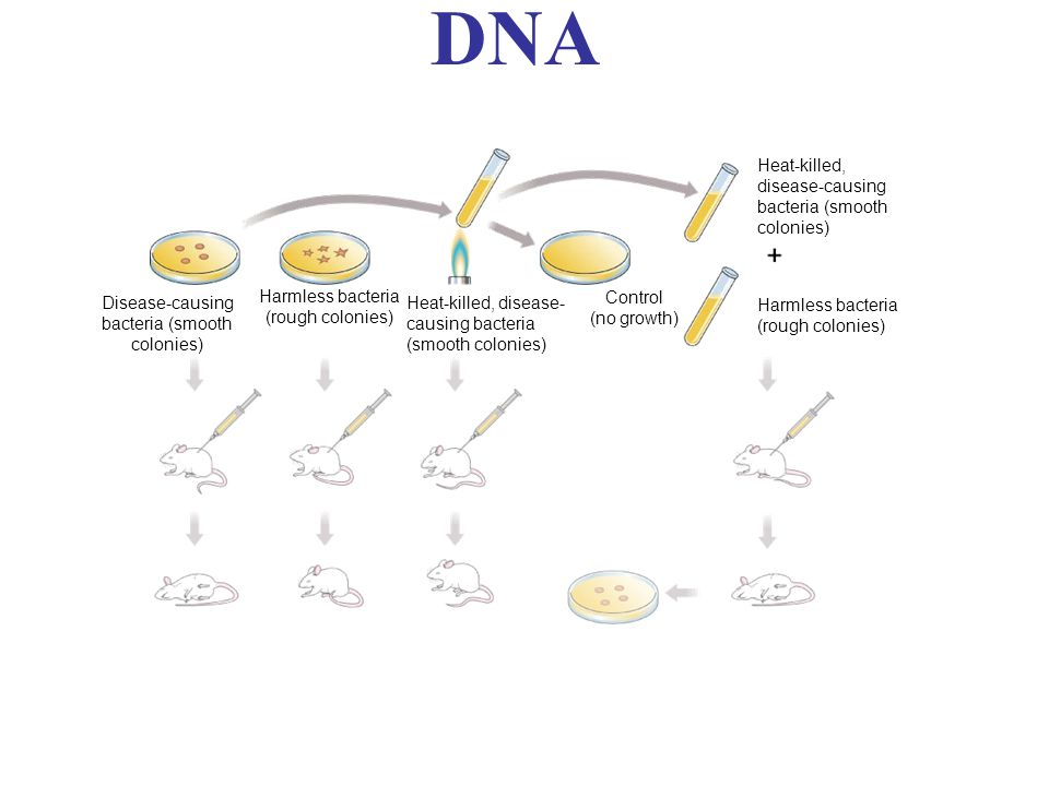 DNA Disease-causing bacteria (smooth colonies) Harmless bacteria (rough colonies) Heat-killed, disease- causing bacteria (smooth colonies) Control (no