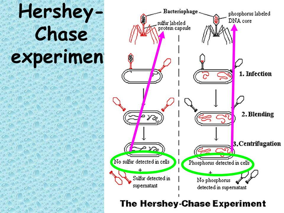 Hershey- Chase experiment