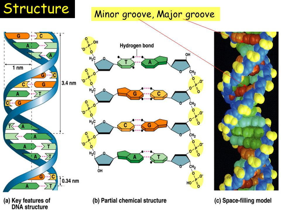 Structure Minor groove, Major groove