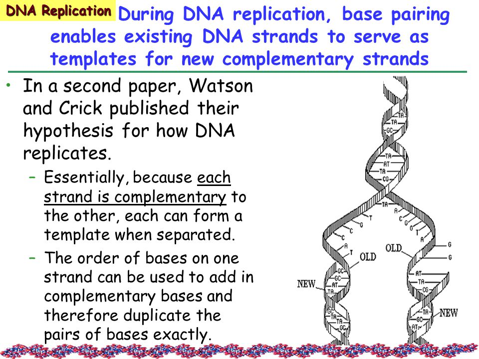 During DNA replication, base pairing enables existing DNA strands to serve as templates for new complementary strands In a second paper, Watson and Crick published their hypothesis for how DNA replicates.