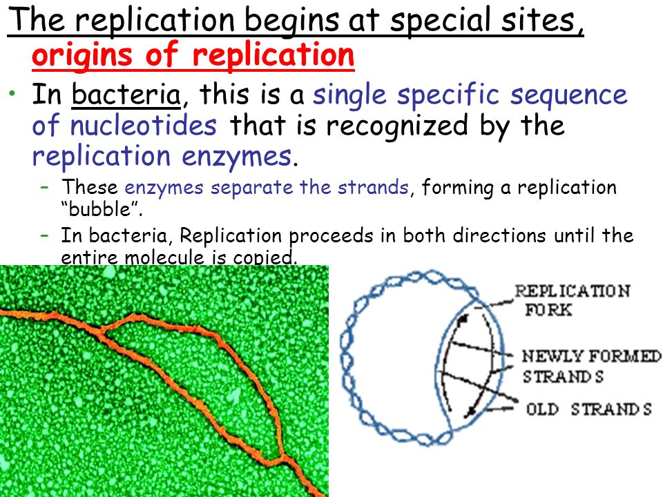 The replication begins at special sites, origins of replication In bacteria, this is a single specific sequence of nucleotides that is recognized by the replication enzymes.