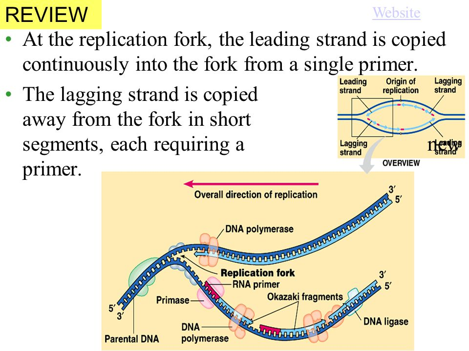 At the replication fork, the leading strand is copied continuously into the fork from a single primer.