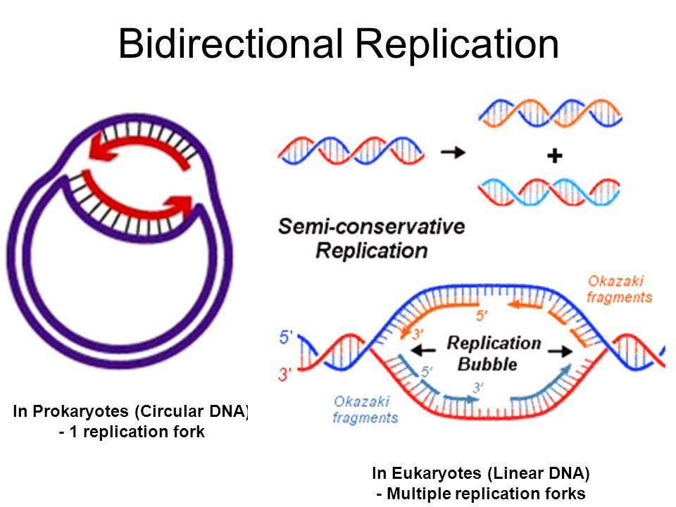 Bidirectional Replication In Prokaryotes (Circular DNA) - 1 replication fork In Eukaryotes (Linear DNA) - Multiple replication forks