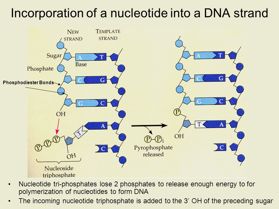 Incorporation of a nucleotide into a DNA strand Nucleotide tri-phosphates lose 2 phosphates to release enough energy to for polymerization of nucleoti