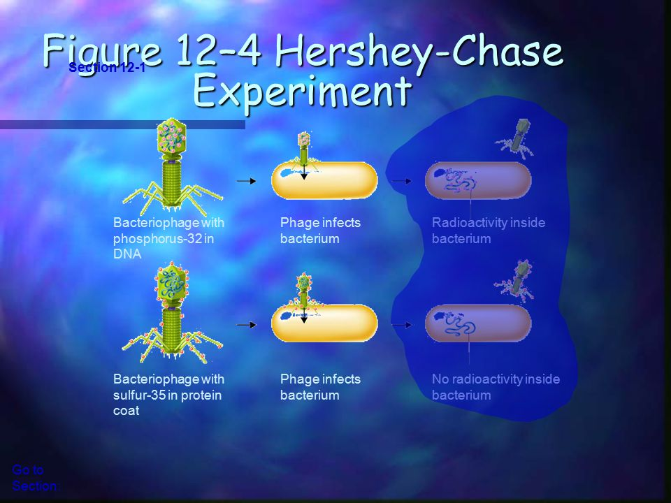 Bacteriophage with phosphorus-32 in DNA Phage infects bacterium Radioactivity inside bacterium Bacteriophage with sulfur-35 in protein coat Phage infects bacterium No radioactivity inside bacterium Figure 12–4 Hershey-Chase Experiment Section 12-1 Go to Section: