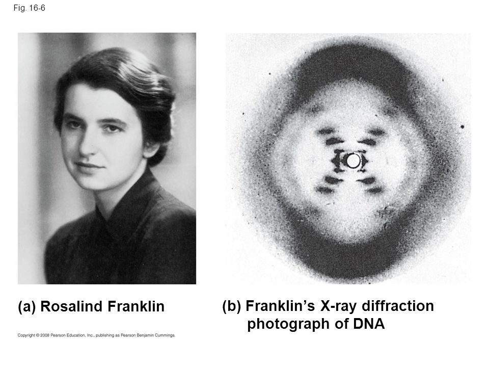 Fig. 16-6 (a) Rosalind Franklin (b) Franklin's X-ray diffraction photograph of DNA