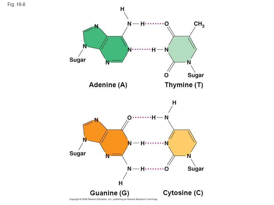 Fig. 16-8 Cytosine (C) Adenine (A)Thymine (T) Guanine (G)