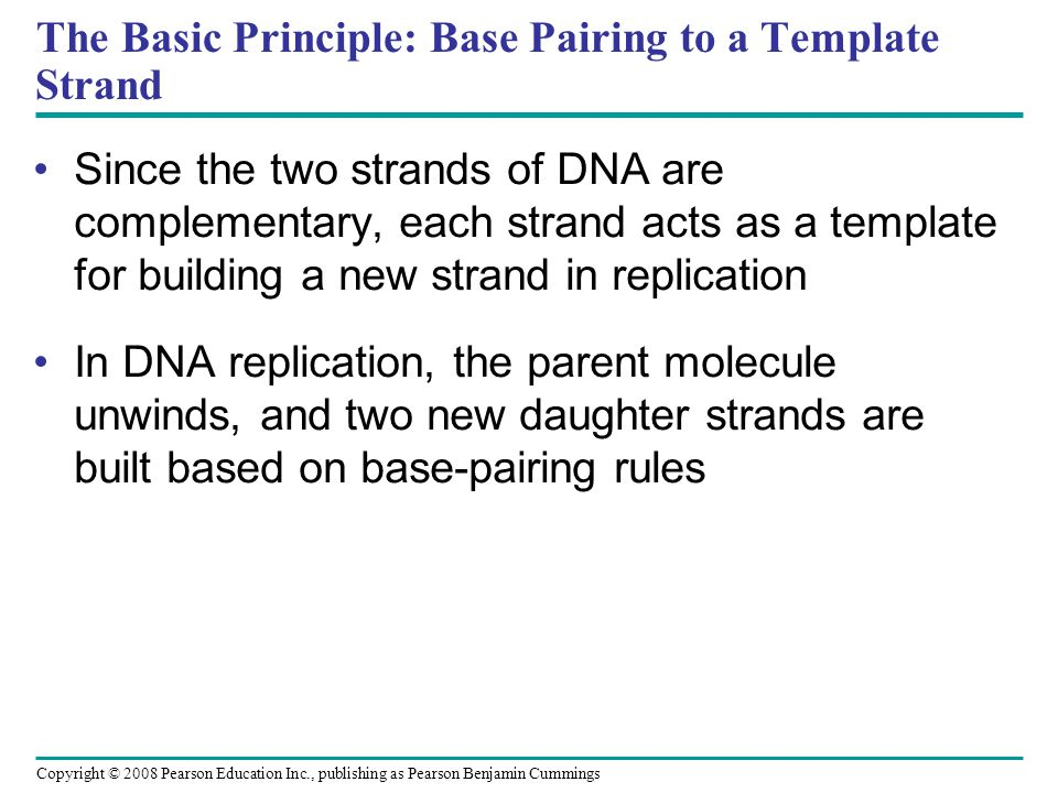 The Basic Principle: Base Pairing to a Template Strand Since the two strands of DNA are complementary, each strand acts as a template for building a new strand in replication In DNA replication, the parent molecule unwinds, and two new daughter strands are built based on base-pairing rules Copyright © 2008 Pearson Education Inc., publishing as Pearson Benjamin Cummings