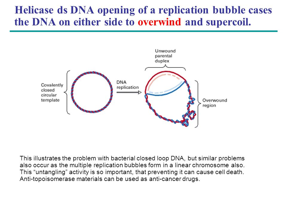 Helicase ds DNA opening of a replication bubble cases the DNA on either side to overwind and supercoil. This illustrates the problem with bacterial cl