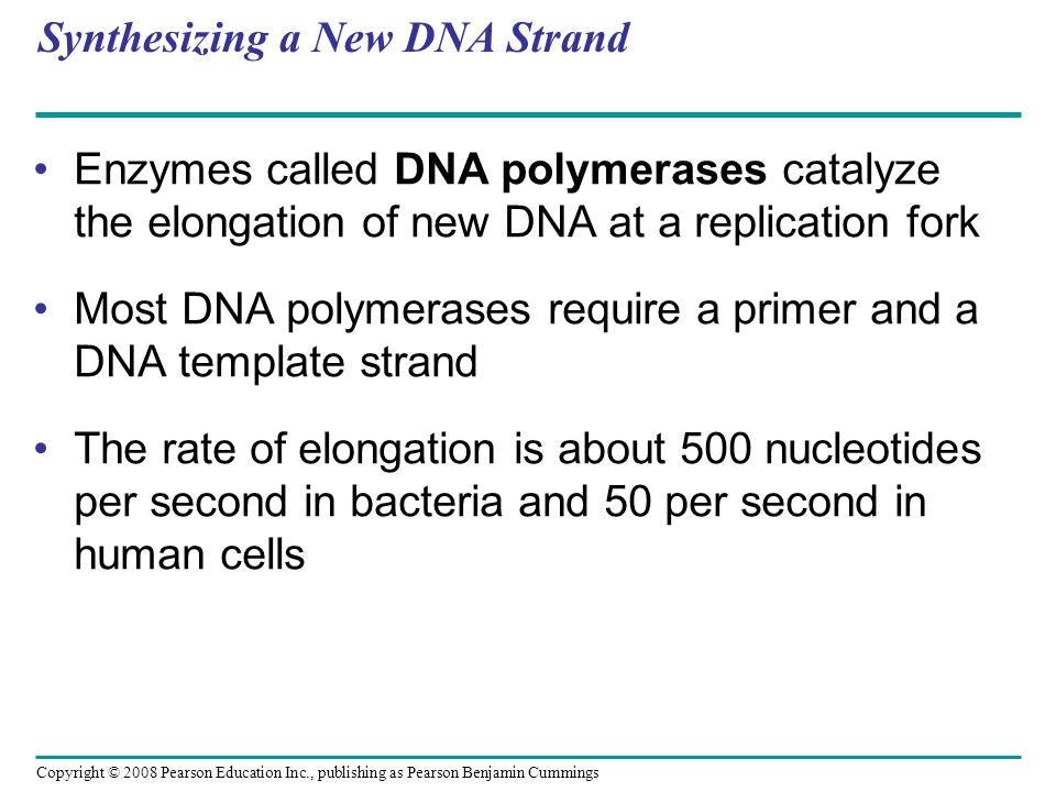 Synthesizing a New DNA Strand Enzymes called DNA polymerases catalyze the elongation of new DNA at a replication fork Most DNA polymerases require a p