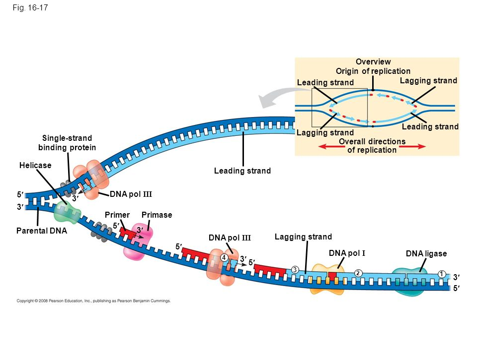 Fig. 16-17 Overview Origin of replication Leading strand Lagging strand Overall directions of replication Leading strand Lagging strand Helicase Paren