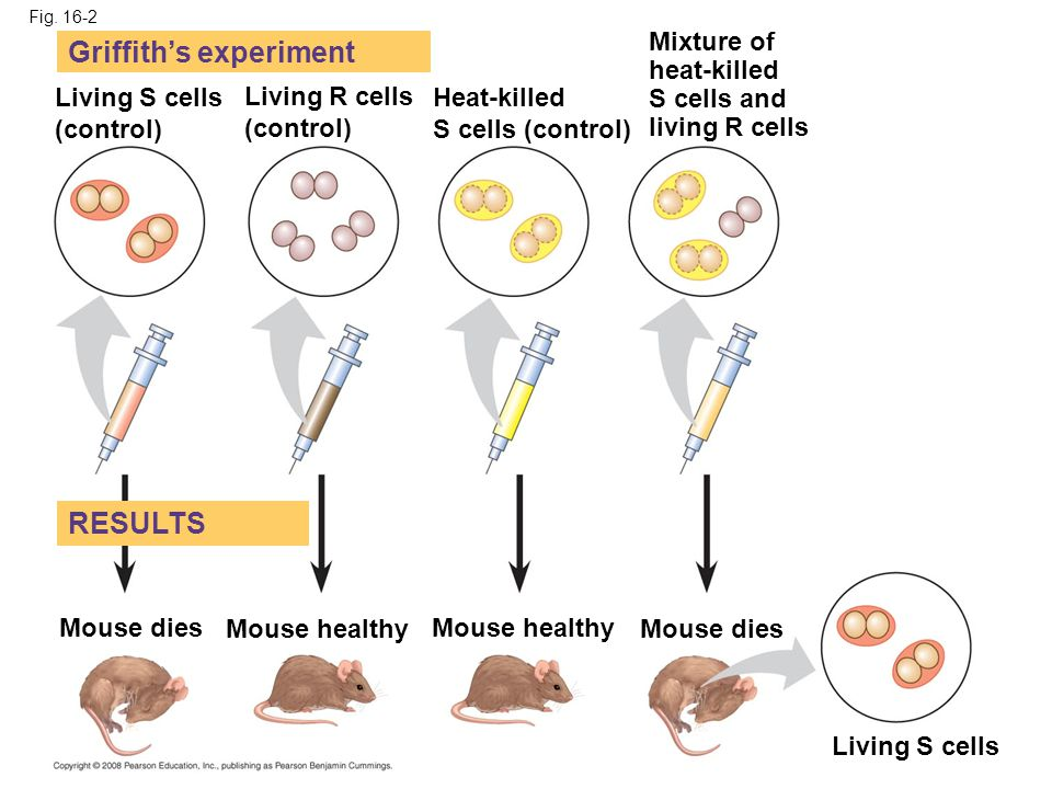 Fig. 16-2 Living S cells (control) Living R cells (control) Heat-killed S cells (control) Mixture of heat-killed S cells and living R cells Mouse dies
