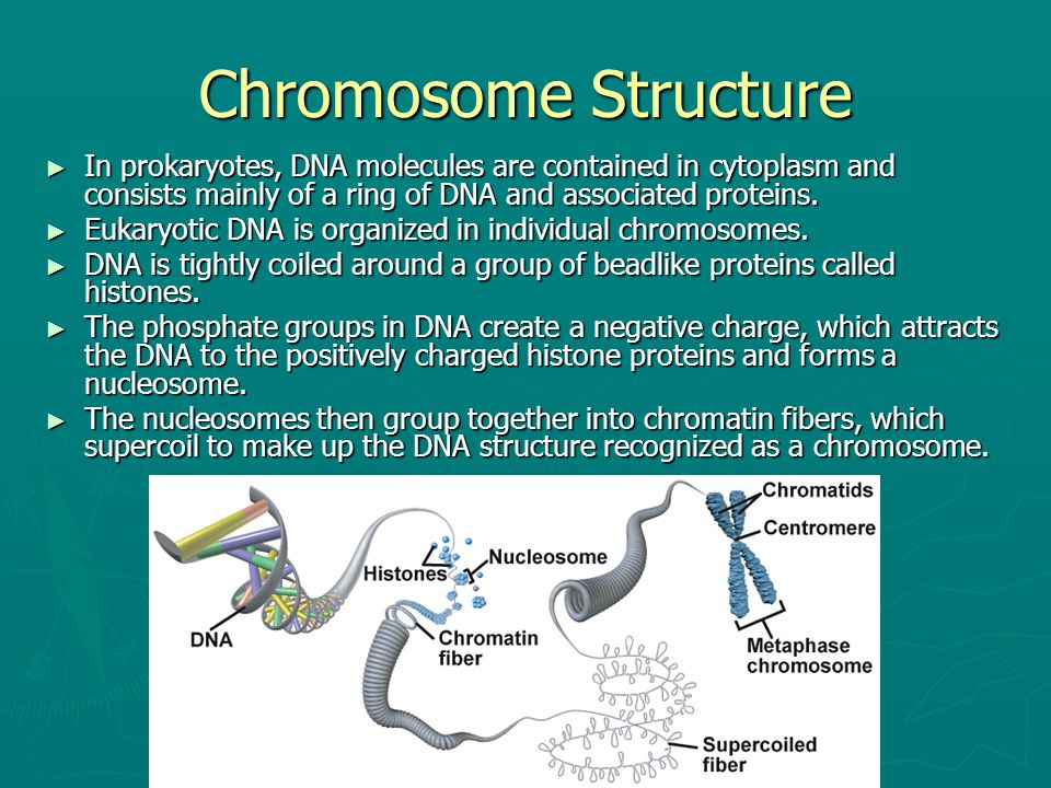 Chromosome Structure ► In prokaryotes, DNA molecules are contained in cytoplasm and consists mainly of a ring of DNA and associated proteins. ► Eukary