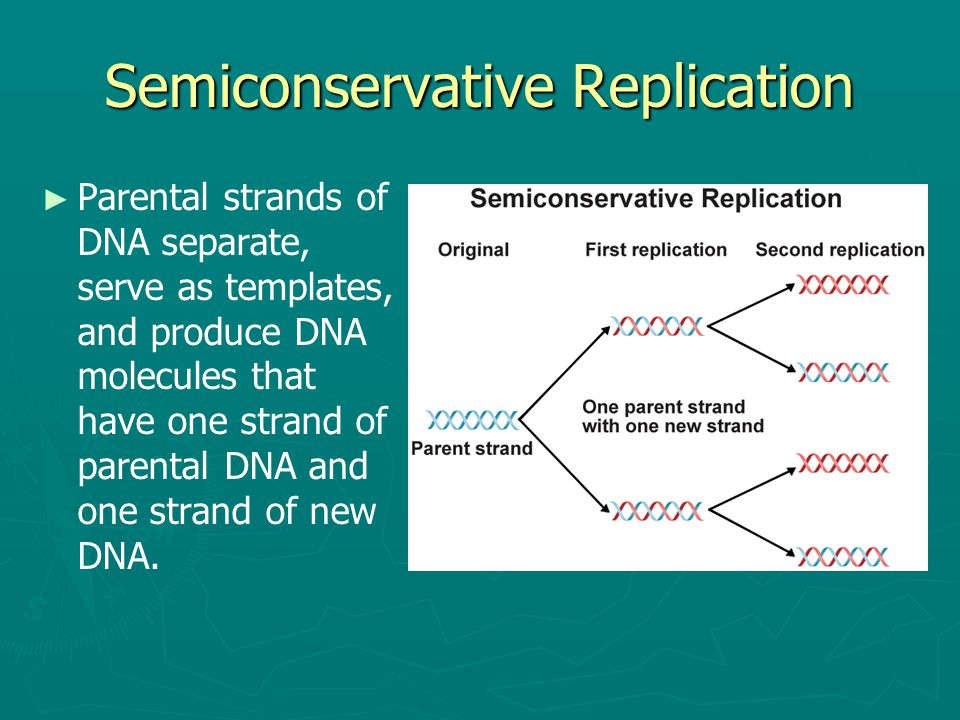 Semiconservative Replication ► ► Parental strands of DNA separate, serve as templates, and produce DNA molecules that have one strand of parental DNA