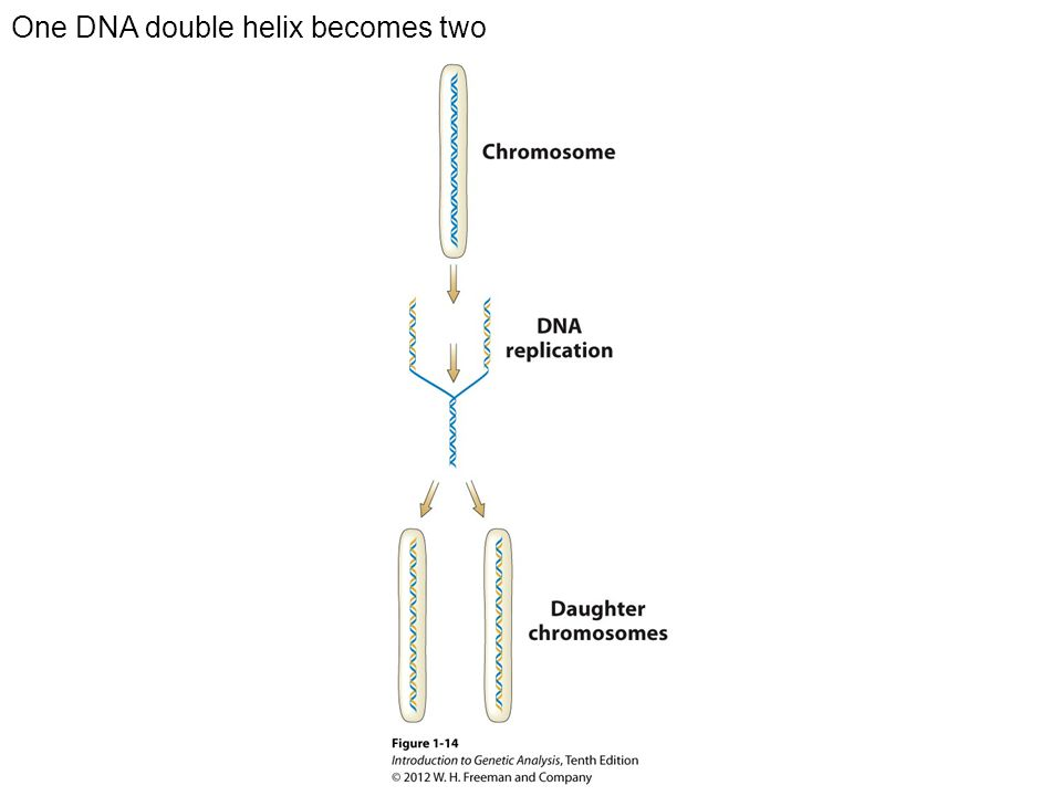 One DNA double helix becomes two