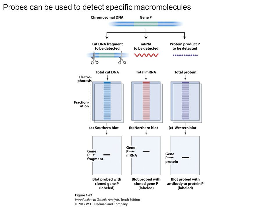 Probes can be used to detect specific macromolecules