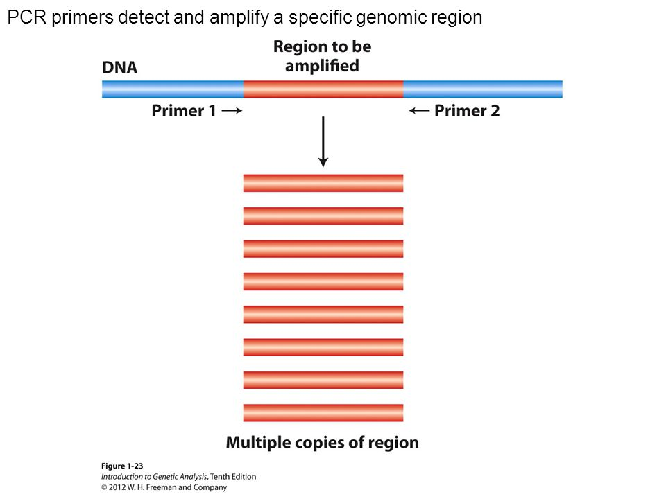 PCR primers detect and amplify a specific genomic region