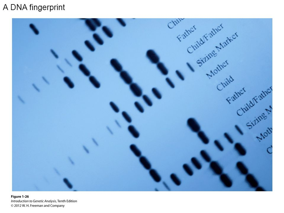 A DNA fingerprint
