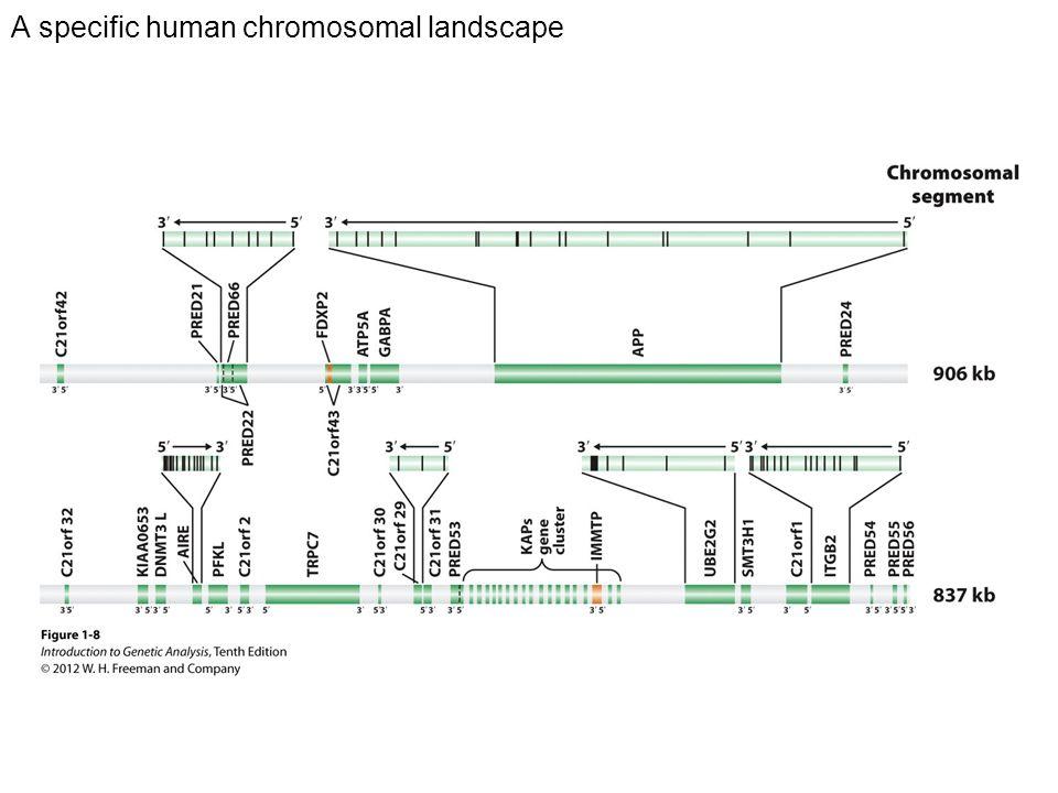 A specific human chromosomal landscape