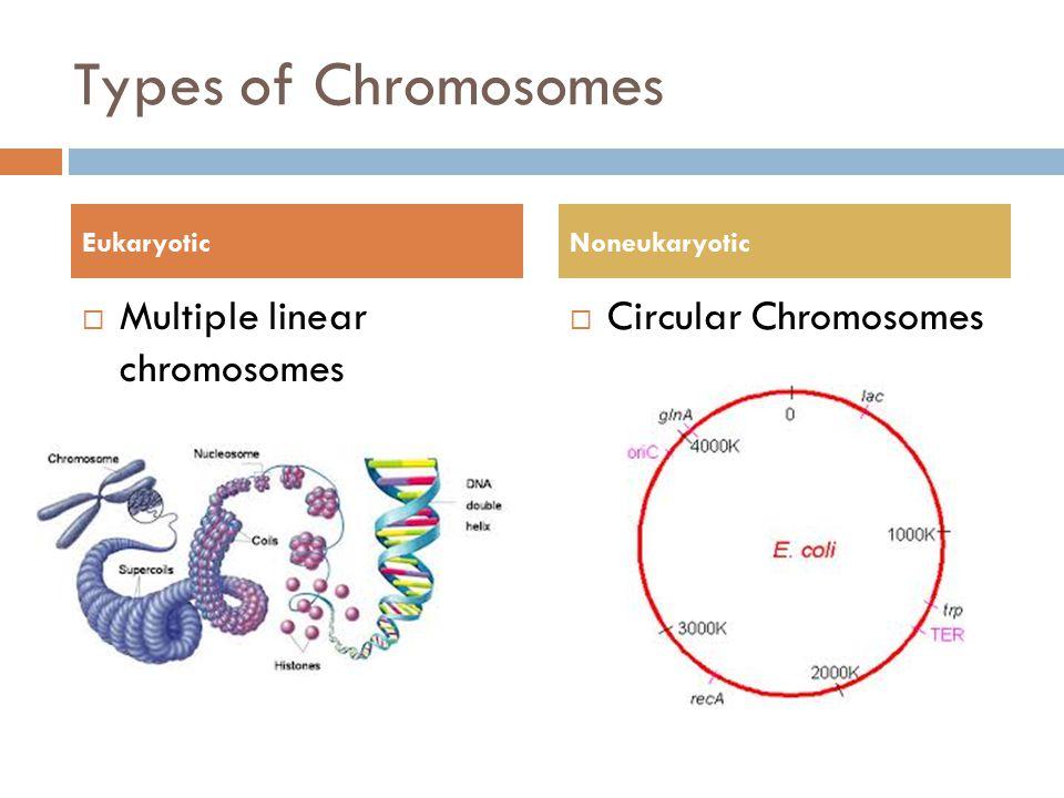 Types of Chromosomes  Multiple linear chromosomes  Circular Chromosomes EukaryoticNoneukaryotic