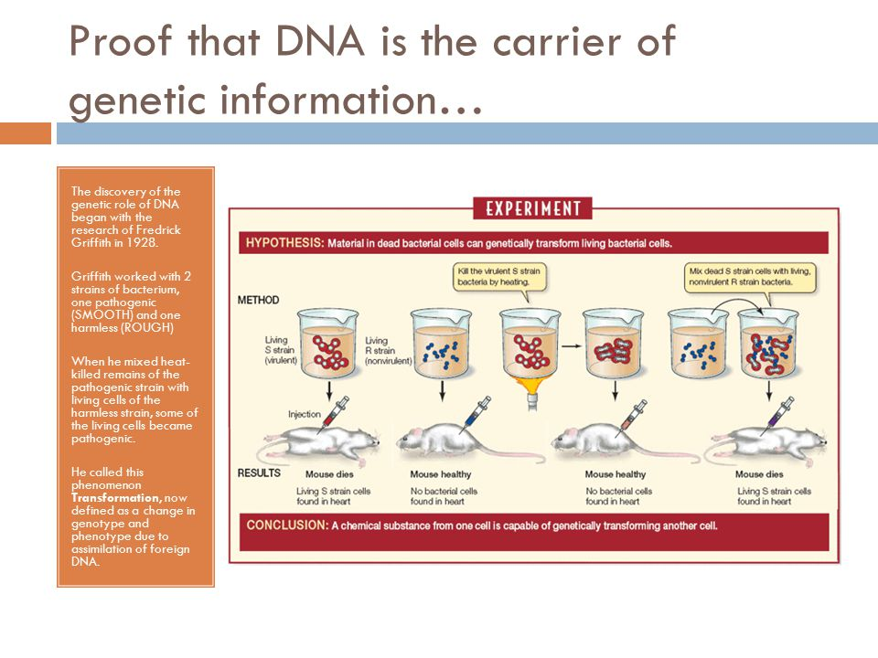 Proof that DNA is the carrier of genetic information… In 1944, Oswald Avery, Maclyn McCarty, and Colin MacLeod announced that the transforming substance was DNA based on their extension of Griffith s study.