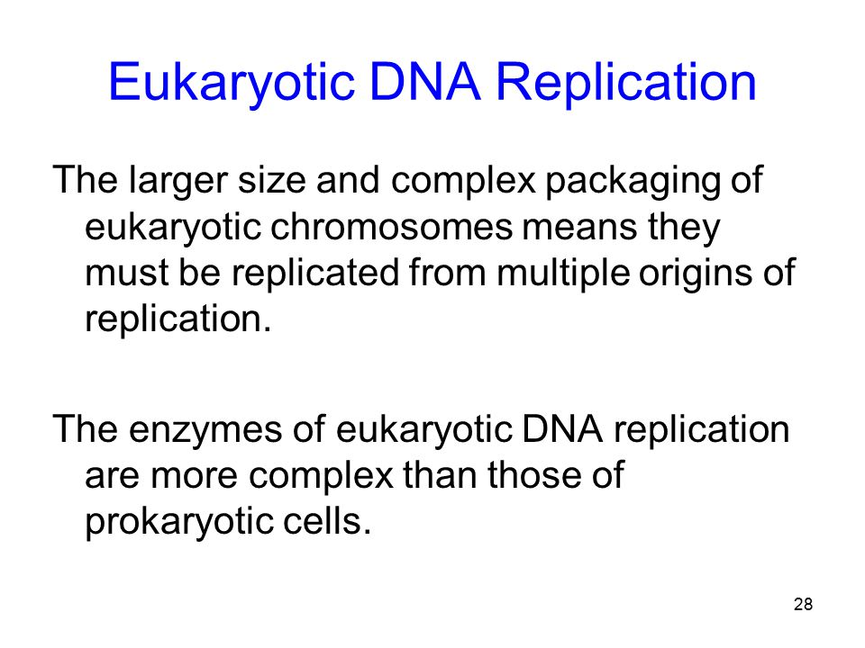 28 Eukaryotic DNA Replication The larger size and complex packaging of eukaryotic chromosomes means they must be replicated from multiple origins of replication.