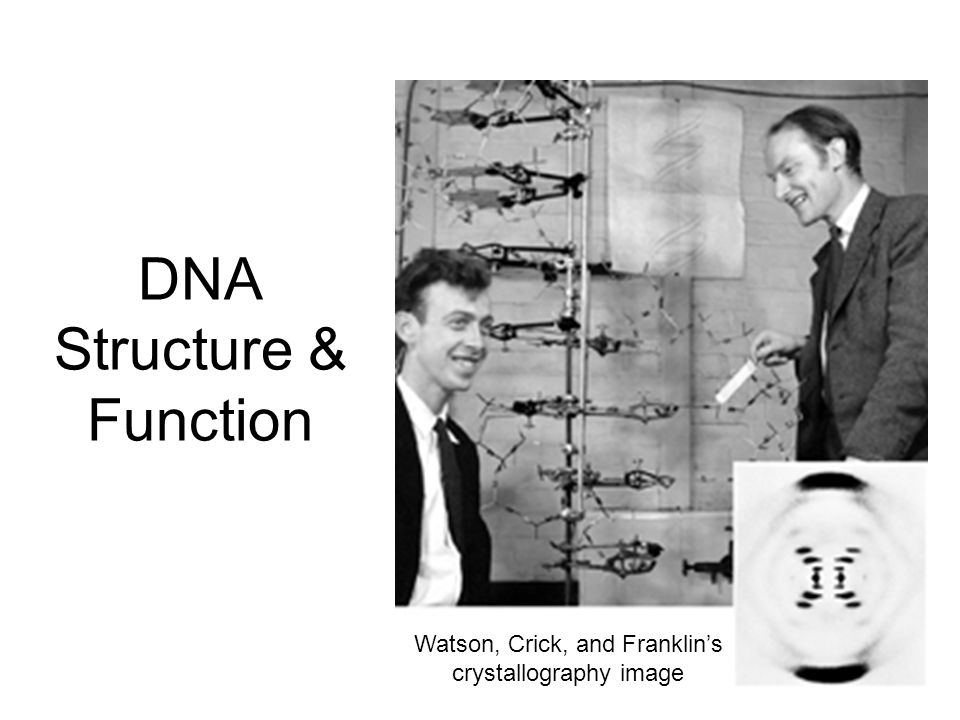 DNA Structure & Function Watson, Crick, and Franklin's crystallography image