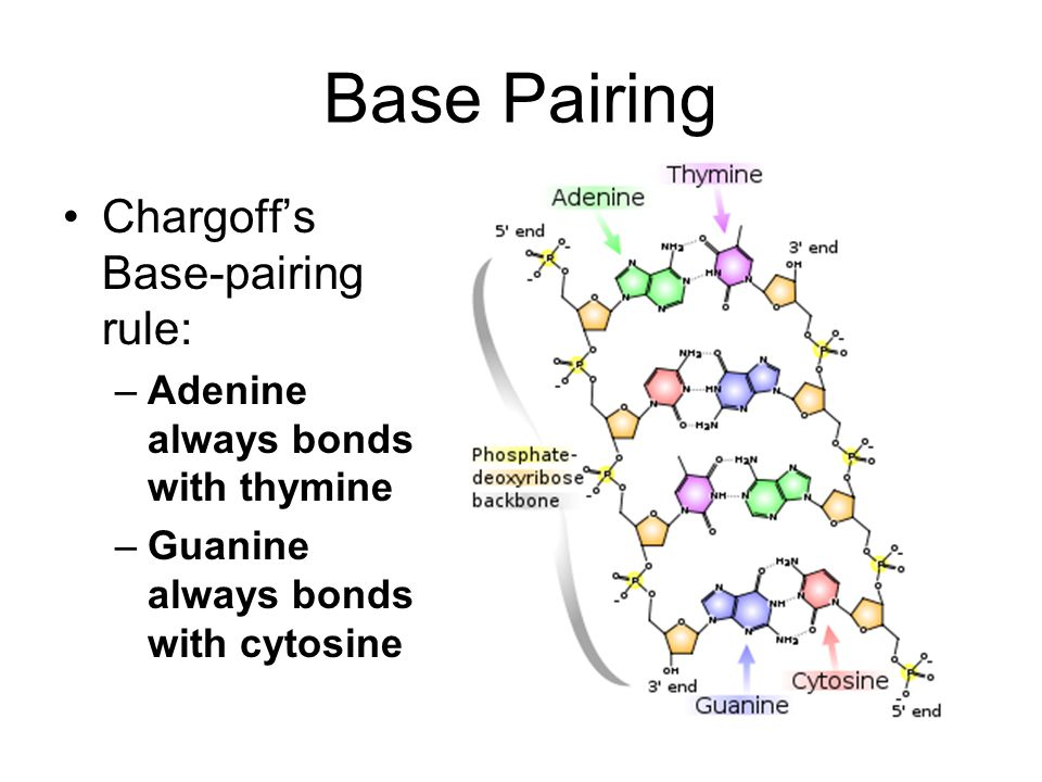 Base Pairing Chargoff's Base-pairing rule: –Adenine always bonds with thymine –Guanine always bonds with cytosine