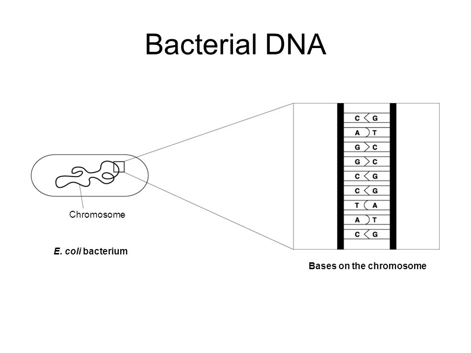 Bacterial DNA Chromosome E. coli bacterium Bases on the chromosome