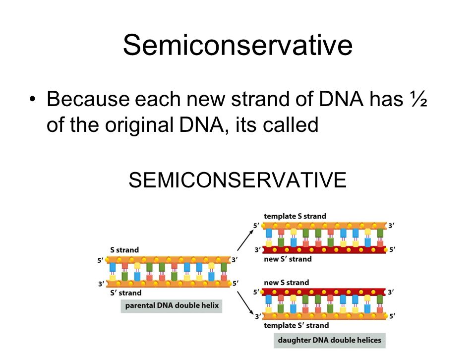 Semiconservative Because each new strand of DNA has ½ of the original DNA, its called SEMICONSERVATIVE
