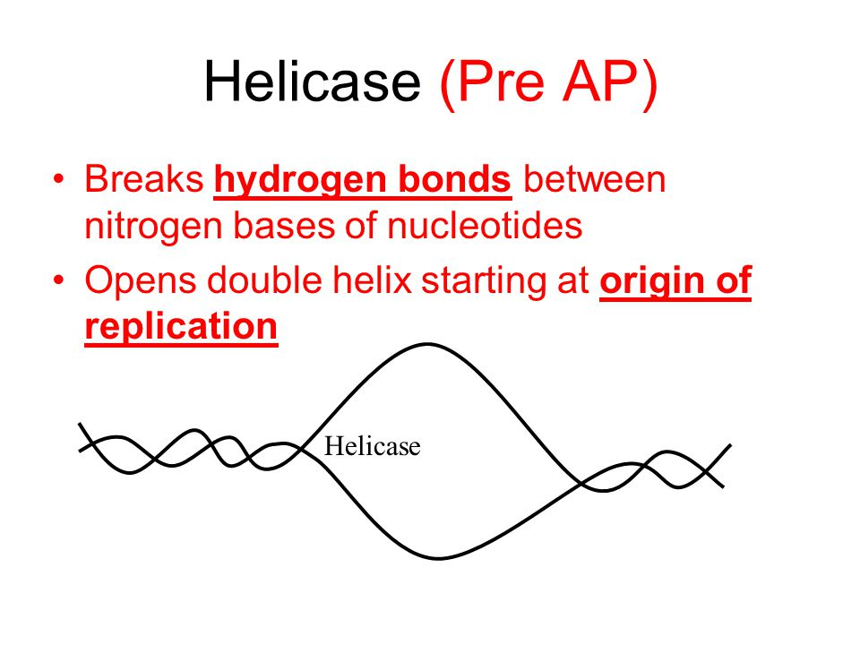Helicase (Pre AP) Breaks hydrogen bonds between nitrogen bases of nucleotides Opens double helix starting at origin of replication Helicase