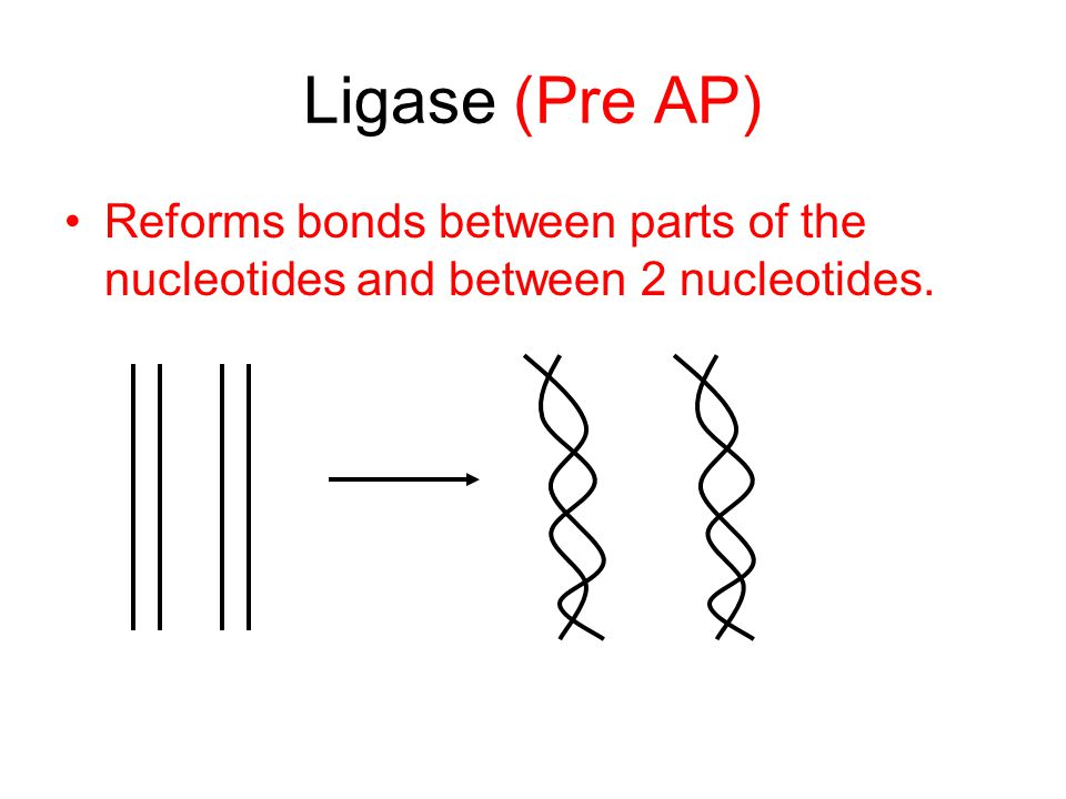 Ligase (Pre AP) Reforms bonds between parts of the nucleotides and between 2 nucleotides.