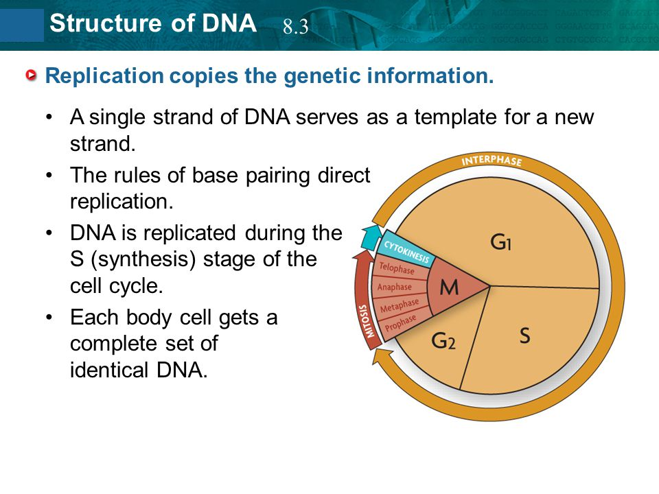 8.2 Structure of DNA Replication copies the genetic information. A single strand of DNA serves as a template for a new strand. The rules of base pairi