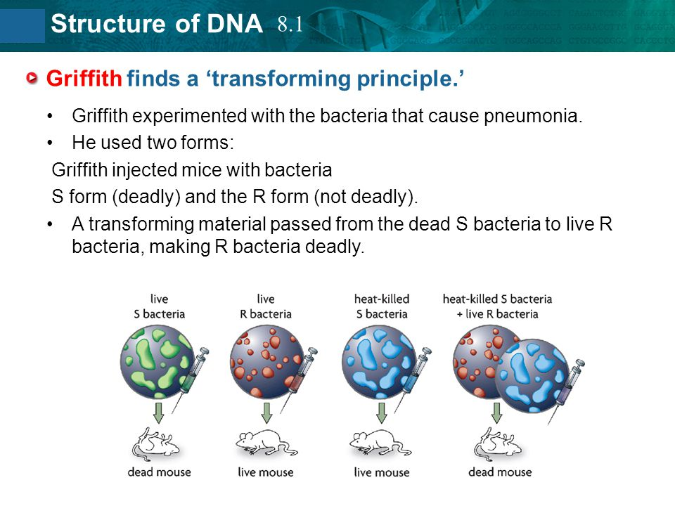 8.2 Structure of DNA Griffith finds a 'transforming principle.' Griffith experimented with the bacteria that cause pneumonia. He used two forms: Griff