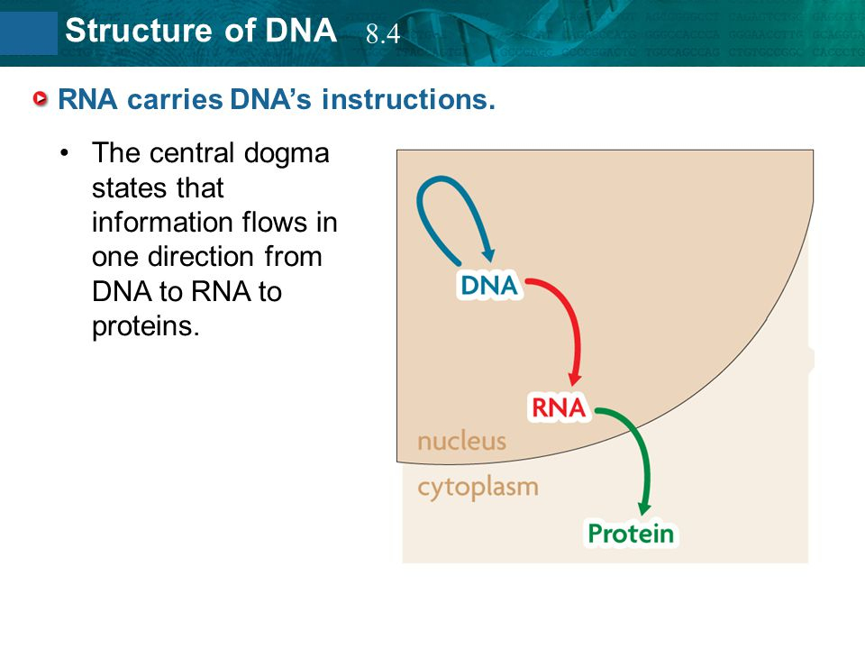 8.2 Structure of DNA RNA carries DNA's instructions. The central dogma states that information flows in one direction from DNA to RNA to proteins. 8.4