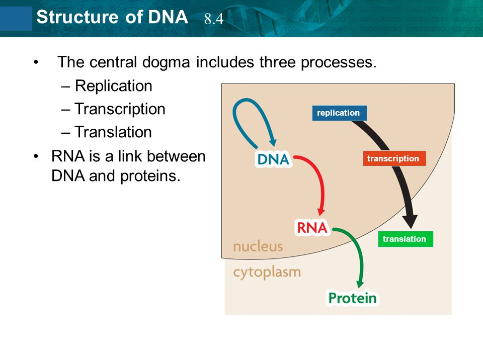 8.2 Structure of DNA The central dogma includes three processes. RNA is a link between DNA and proteins. replication transcription translation – Repli