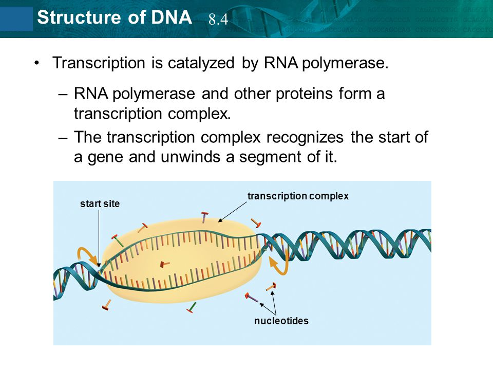 8.2 Structure of DNA Transcription is catalyzed by RNA polymerase. –RNA polymerase and other proteins form a transcription complex. –The transcription