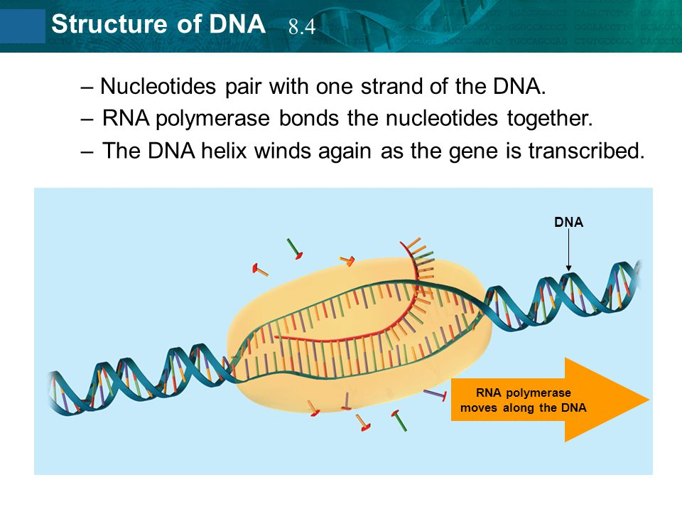 8.2 Structure of DNA –RNA polymerase bonds the nucleotides together. –The DNA helix winds again as the gene is transcribed. – Nucleotides pair with on