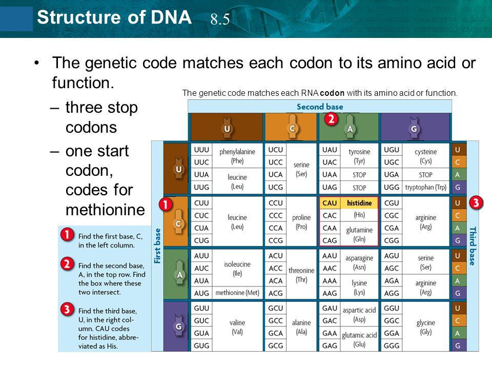 8.2 Structure of DNA The genetic code matches each codon to its amino acid or function. –three stop codons –one start codon, codes for methionine The