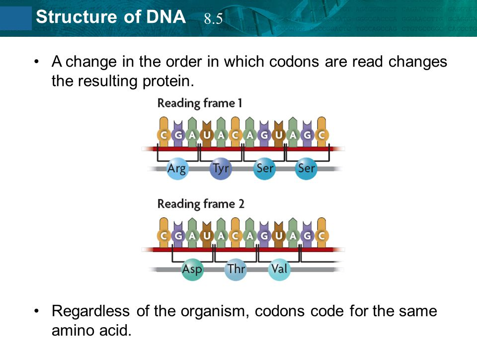 8.2 Structure of DNA A change in the order in which codons are read changes the resulting protein. Regardless of the organism, codons code for the sam